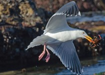 Western-Gull-with-crab-4