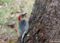 Woodpecker-34