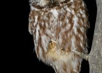 ZZ-Boreal-Owl-2013-207-BX-CR-NR-SM-1