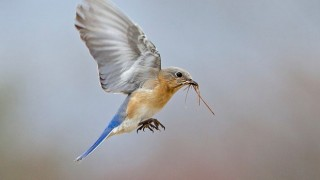 Eastern Bluebird carrying material for its nest. Photo by Kim Caruso
