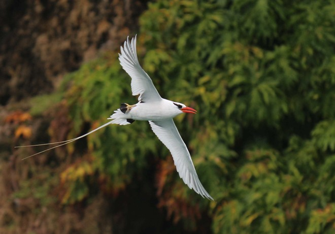 Red-billed Tropicbird ©2016 Joyce DeHaan