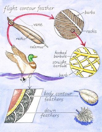 VARIED: Overlapping barbules give contour feathers rigidity. Fluffy down feathers lack a rachis. Illustration by Denise Takahashi.