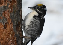 American-Three-toed-Woodpecker-Fish-Cr-Pk