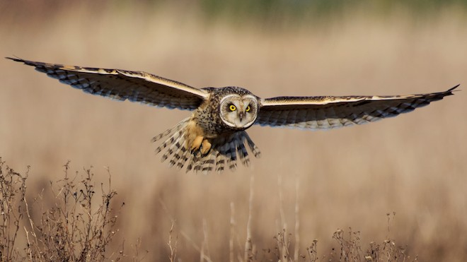 Short-eared Owl (Asio flammeus), Brunswick Point, Delta, British Columbia, January 9, 2016, 10:48 a.m., by Robert Thomas