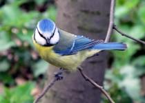 Blue-Tit-Kensington-Gardens