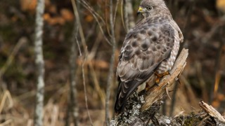 Broad-winged Hawk in Iron, Minnesota, by crayne.