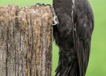 C-Pileated-Woodpecker-11-BX-CR-NR-SM-1