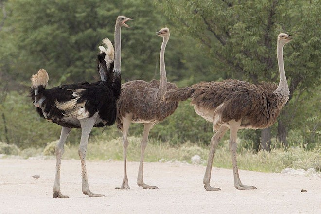 Common Ostriches in Etosha National Park, Namibia, by Yathin S. Krishnappa (Wikimedia Commons).