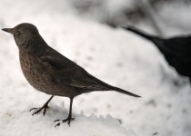 CommonBlackbird