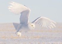 Snowy Owl near Delisle, Saskatchewan