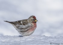 Common Redpoll, garden