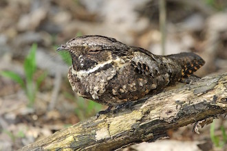 Eastern Whip-poor-will at Magee Marsh Wildlife Area, Ohio, May 3, 2015, by Joan Tisdale.