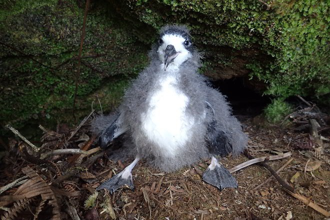 Hawaiian Petrel by André Raine/Kaua'i Endangered Seabird Recovery Project.