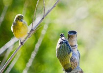 Lesser-Goldfinches