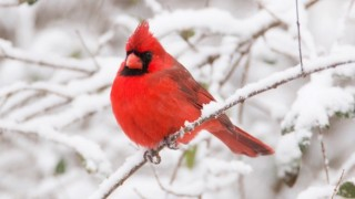 Northern Cardinal in Alabama, January 23, 2016, by Tena Southern.