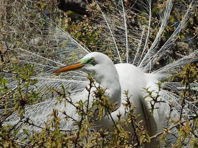 Great Egret at Kraft Azalea Gardens, Winter Park, Florida, by sfischer2250.