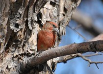 Red-Crossbill-Calgary