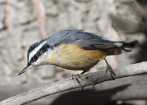 Red-breasted-Nuthatch-Fish-Creek-Pk