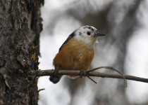 Red-breasted-Nuthatch-leucistic-Fish-Cr-Pk
