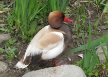Red-crested-Pochard