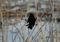 Red-winged-Blackbird-Red-Deer-Lake