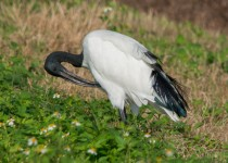 Sacred-Ibis-Africa-2936