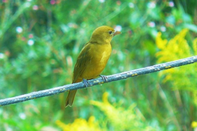 Scarlet Tanager Female_660x440