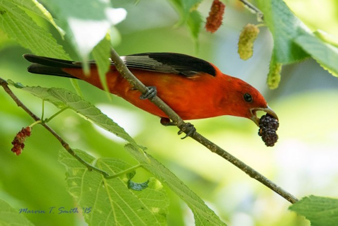 Scarlet Tanager Mulberry_660x440