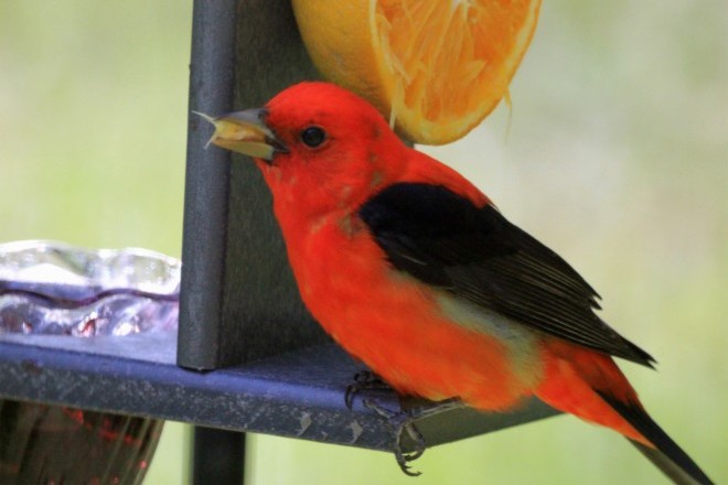 Scarlet Tanager Orange_660x440