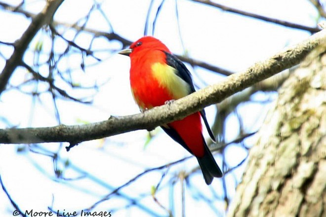 Scarlet Tanager Yellow_660x440