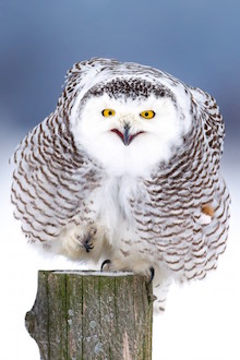 Snowy Owl by Jim Cumming.