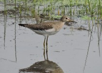 Solitary-Sandpiper-Twp-Rd-214A