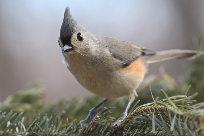 Climate change is causing bird distributions to shift faster than tufted titmouse in the blue ridge mountains near lynchburg virginia january 11 2015 sciox Images
