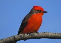 Vermillion-Flycatcher-Copy