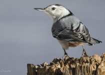 White-Breasted-Nuthatch-2012-62-BX-CR-NR-SM-1
