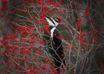 Woodpecker-02-BW-mag