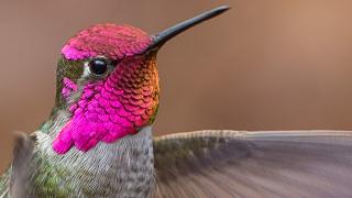 annas-hummingbird-320