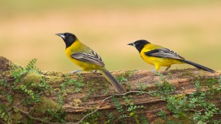 Audubons-Oriole-pair-on-log