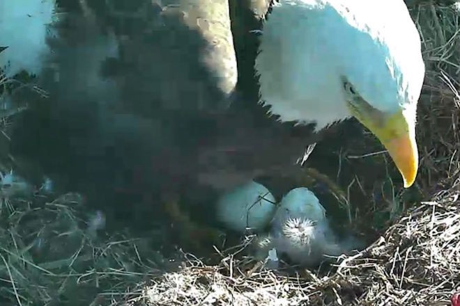An eaglet emerges at the National Arboretum, Washington, DC, March 2016. ©2016 American Eagle Foundation, eagles.org.