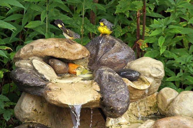 An American Redstart and Canada and Tennessee Warblers enjoy Ryan Brady's fountain. Photo by Ryan Brady.