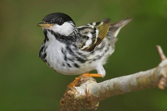 Blackpoll Warbler at High Island, Texas, April 23, 2011, by Lora Render.