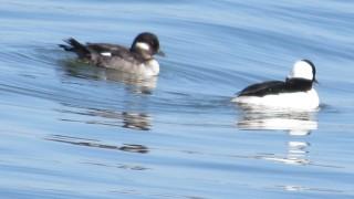 Buffle-headed-Ducks