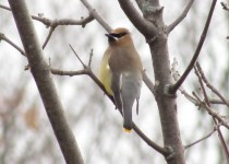 Cedar-Waxwing-perch