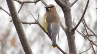 Cedar-Waxwing-perch