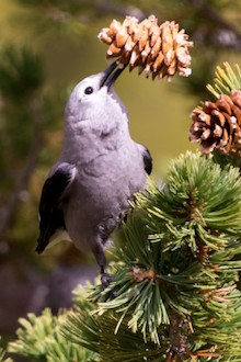 Clark's Nutcracker by Greg Bergquist.