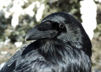 Common-Raven-Lake-Louise