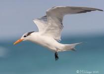Royal Tern, Cayo Santa Maria, Cuba