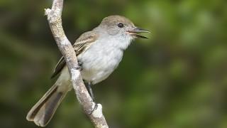 La Sagra's Flycatcher, Cayo Santa Maria, Cuba