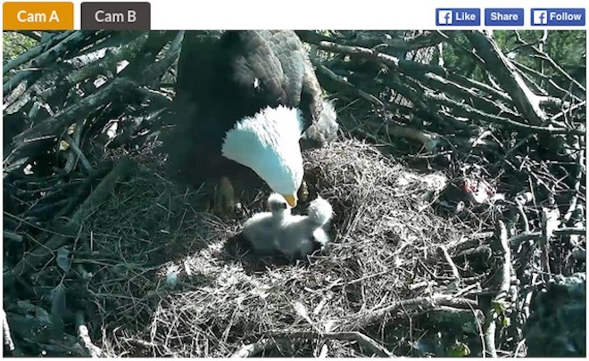 Eaglets and parent