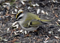 Golden-crowned-Kinglet-Fish-Cr-Pk